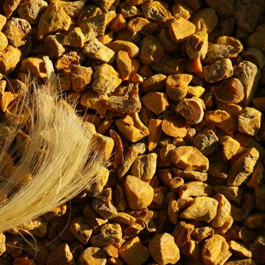 Curcuma longa, Kurkuma , gefärbte Haare