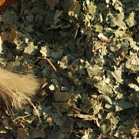 Betula pendula, Birke , gefärbte Haare