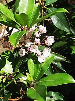 Kalmia latifolia, Berg-Lorbeer, Färberpflanze