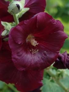 Alcea rosea, Stockrose, Färberpflanze