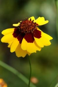 Coreopsis tinctoria, Färber-Mädchenauge, Färberpflanze, Färbepflanze, Pflanzenfarben,  färben