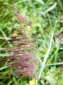 Phragmites australis, Schilf, Färberpflanze