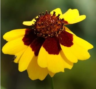 Coreopsis tinctoria, Färber-Mädchenauge, Färberpflanze, Färbepflanze