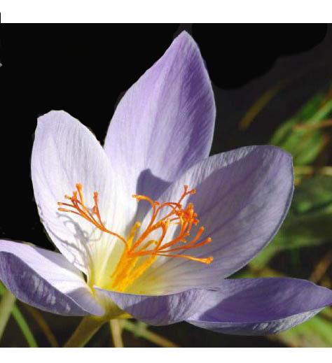 Pflanzenfarben als Lebensmittelfarben, Färberpflanzen
