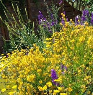 Anlegen von Färbergärten, Färbergarten, Färberpflanzen