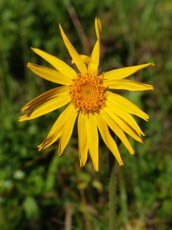 Arnica montana, Arnika, Bergwohlverleih, Färberpflanze, Artenschutz