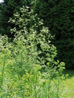 Conium maculatum, Schierling, Färbepflanze