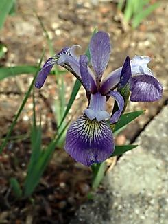 Iris versicolor, Verschiedenfarbige Iris, Färberpflanze, Artenschutz