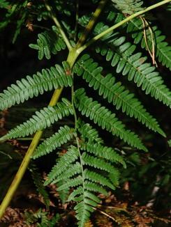 Pteridium aquilinum, Adlerfarn, Färbepflanze