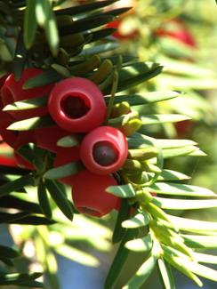 Taxus baccata, Eibe, Färbepflanze