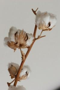 Gossypium, Baumwolle