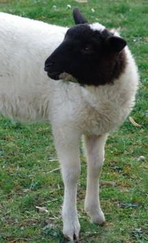 Ovis, Schaf