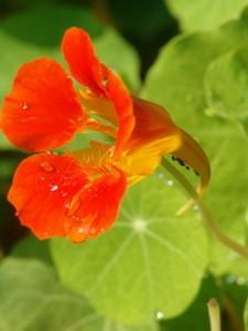 Tropaeolum majus, Kapuzinerkresse, Färberpflanze, Färbepflanze Pflanzenfarben,  färben