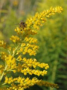 Solidago canadensis, Kanadische Goldrute, Färberpflanze, Färbepflanze