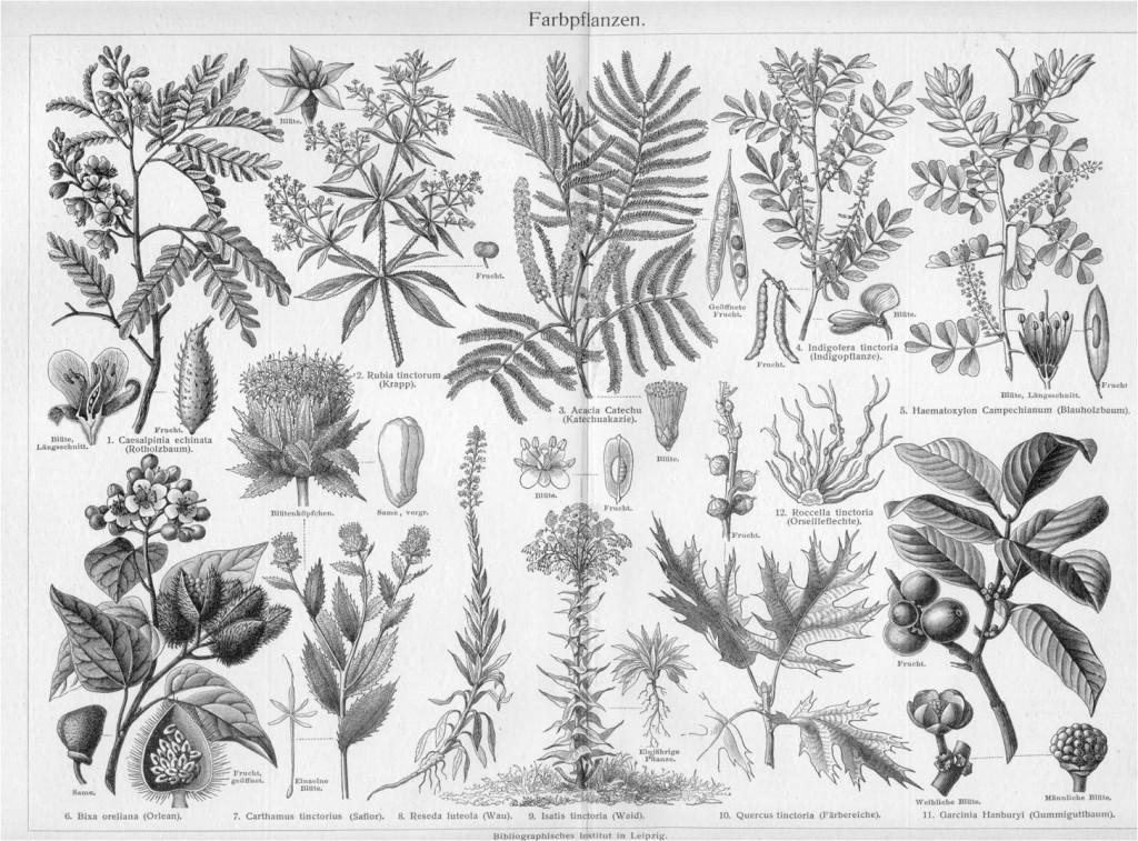 Farbpflanzen Ende des 19.Jahrhunderts
