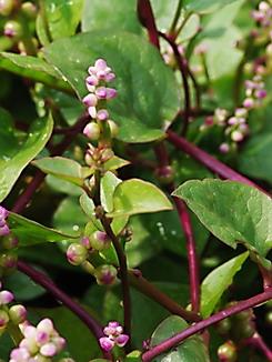 Peganum harmala, Steppenraute, Färberpflanze
