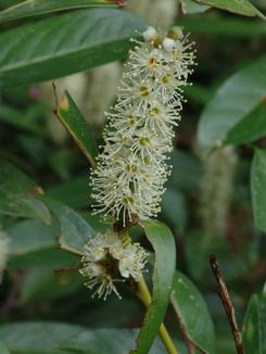 Prunus laurocerasus, Kirschlorbeer, Färberpflanze