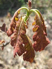 Quercus velutina, Färbereiche, Quercitron