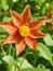 Dahlia spec., Dahlie, Färbepflanze, Färberpflanze, Pflanzenfarben,  färben, Klostergarten Seligenstadt