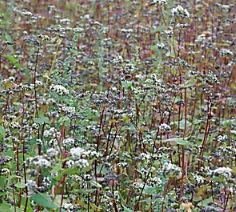 Fagopyrum esculentum, Buchweizen, Färberpflanze, Färbepflanze
