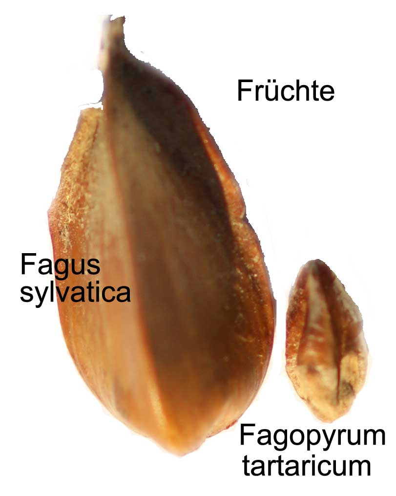 Buchecker,Buchweizen, Fagi fructus