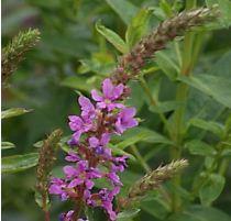 Lythrum salicaria, Blutweiderich, Färbepflanze