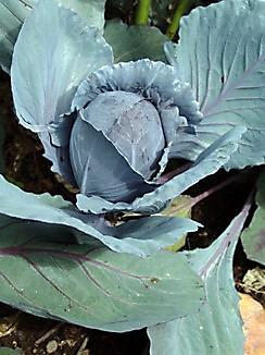 Rotkraut, Rotkohl, Färbepflanze, Färberpflanze, Pflanzenfarbe, Brassica oleracea