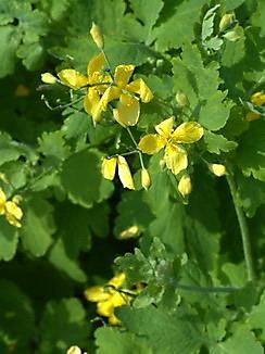 Chelidonium majus, Schöllkraut, Färbepflanze