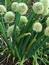 Allium cepa, Küchenzwiebel, Färberpflanze, Färbepflanze