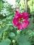 Alcea rosea, Schwarze Malve, Stockrose, Färbepflanze, Färberpflanze, Pflanzenfarben,  färben, Klostergarten Seligenstadt