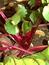 Beta vulgaris, Rote Beete, Pflanzenfarbe zur Haarfärbung, Färbepflanze