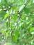 Betula pendula, Birke, Pflanzenfarbe zur Haarfärbung, Färbepflanze