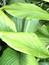 Curcuma longa, Kurkuma, , Pflanzenfarbe zur Haarfärbung, Färbepflanze