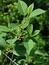 Frangula alnus, Faulbaum, Pflanzenfarbe zur Haarfärbung, Färbepflanze