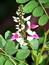 Indigofera tinctoria, Indigo, Pflanzenfarbe zur Haarfärbung, Färbepflanze