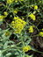 Isatis tinctoria, Waid, Färberwaid, , Pflanzenfarbe zur Haarfärbung, Färbepflanze