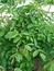 Juglans regia, Nussbaum, Färberpflanze, Färbepflanze