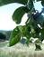 Juglans regia, Walnuss, Nussbaum, Pflanzenfarbe zur Haarfärbung, Färbepflanze