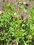 Lawsonia inermis, Henna, Pflanzenfarbe zur Haarfärbung, Färbepflanze