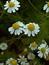 Matricaria recuita, Echte Kamille, Pflanzenfarbe zur Haarfärbung, Färbepflanze
