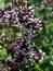 Origanum vulgare, Oregano, Origano, Pflanzenfarbe zur Haarfärbung, Färbepflanze
