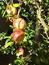 Punica granatum, Granatapfel, Pflanzenfarbe zur Haarfärbung, Färbepflanze