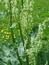 Rheum rhabarbarum, Rhabarber, Pflanzenfarbe zur Haarfärbung, Färbepflanze