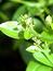 Rubia tinctorum, Färberröte; Krapp, Pflanzenfarbe zur Haarfärbung, Färbepflanze