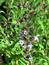 Salvia officinalis, Salbei, Pflanzenfarbe zur Haarfärbung, Färbepflanze