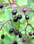 Sambucus nigra, Holunder, Pflanzenfarbe zur Haarfärbung, Färbepflanze