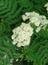 Sambucus nigra, Schwarzer Holunder, Färbepflanze, Färberpflanze, Pflanzenfarben,  färben, Klostergarten Seligenstadt