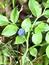 Vaccinium myrtillus, Heidelbeere, Blaubeere, Pflanzenfarbe zur Haarfärbung, Färbepflanze